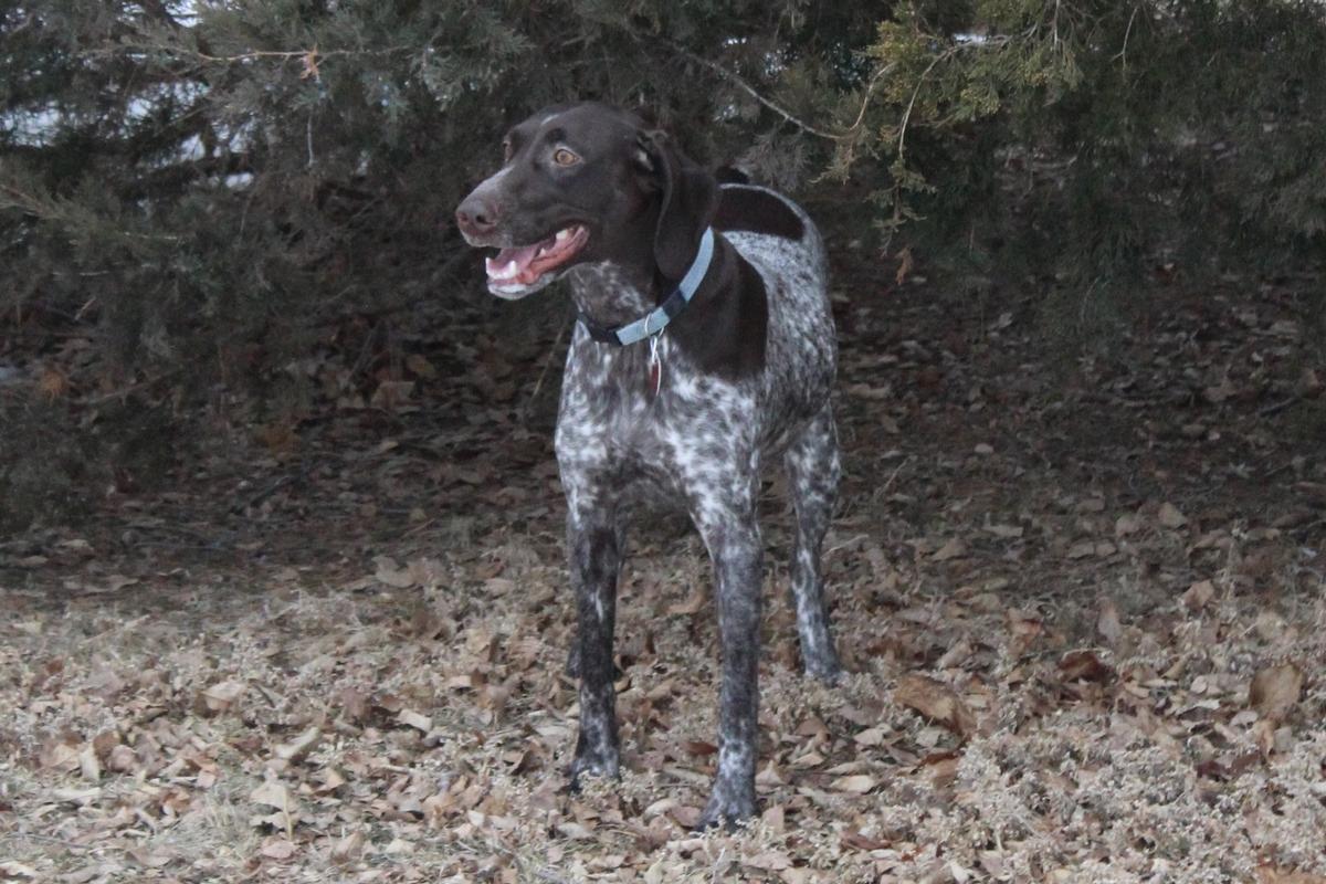 German Shorthair Pointers GSP Puppies for Sale South Dakota